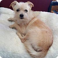 Adopt A Pet :: Star - Manhattan Beach, CA