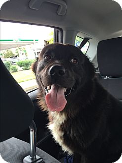 Labrador Retriever/Chow Chow Mix Dog for adoption in Murfreesboro, Tennessee - Beau