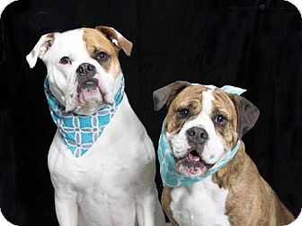 American Bulldog/English Bulldog Mix Dog for adoption in Norfolk, Virginia - DAISY and POPPY