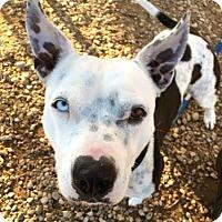 Dogo Argentino Mix Dog for adoption in Austin, Texas - Kahlua