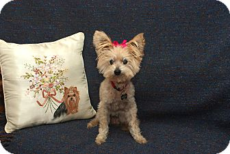 Yorkie, Yorkshire Terrier/Yorkie, Yorkshire Terrier Mix Dog for adoption in Newfield, New Jersey - Lady