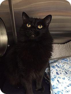 Domestic Longhair Cat for adoption in Chico, California - Moe Moe