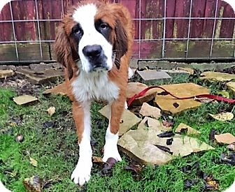 St. Bernard Puppy for adoption in McKinney, Texas - Spice