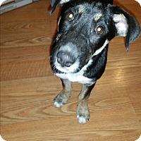 Terrier (Unknown Type, Medium) Mix Puppy for adoption in Hainesville, Illinois - Brin