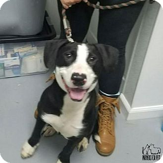Border Collie/Terrier (Unknown Type, Medium) Mix Dog for adoption in Troy, Illinois - Coconut