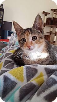 Calico Kitten for adoption in Brandon, Florida - Callie