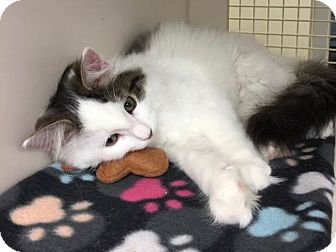 Domestic Mediumhair Kitten for adoption in Warren, Michigan - Lorenzo