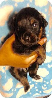 Labrador Retriever/Shepherd (Unknown Type) Mix Puppy for adoption in Colton, California - 11 PUPS - MACK