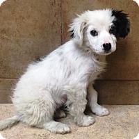 Adopt A Pet :: Paisley - Oswego, IL