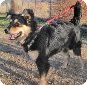 lisa adopted dog alamogordo nm australian shepherd