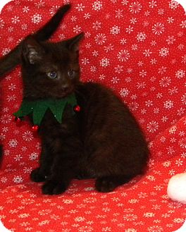 Domestic Shorthair Kitten for adoption in Stafford, Virginia - Kris