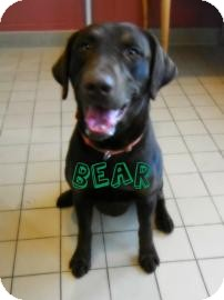 Labrador Retriever Dog for adoption in Jackson, Michigan - Bear