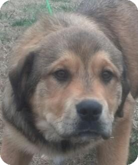 Great Pyrenees/German Shepherd Dog Mix Puppy for adoption in Washington, D.C. - Bernie