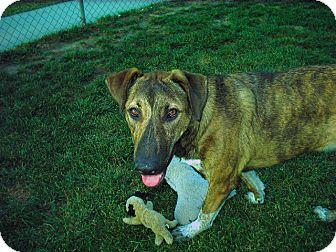 Shepherd (Unknown Type)/Dutch Shepherd Mix Dog for adoption in Santa Monica, California - Moby