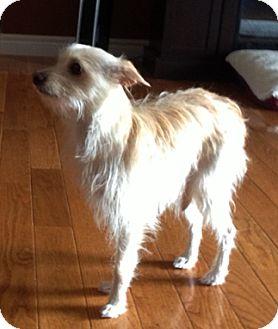 Terrier (Unknown Type, Small) Mix Dog for adoption in Toronto, Ontario - Dezi