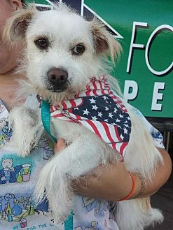 Westie, West Highland White Terrier/Terrier (Unknown Type, Medium) Mix Dog for adoption in Porter Ranch, California - Squirty (BRK)