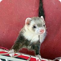 Adopt A Pet :: Roxy - Buxton, ME