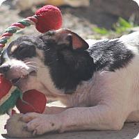 Adopt A Pet :: Dutch-adoption pending - Norwalk, CT