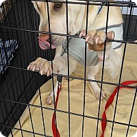 Adopt A Pet :: Daisy - pending - Mira Loma, CA