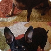 Chihuahua/Miniature Pinscher Mix Dog for adoption in Anchorage, Alaska - Cocoa