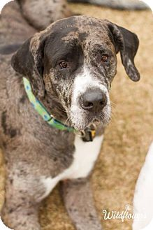 Great Dane Puppy for adoption in Memphis, Tennessee - Pearl