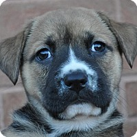 Adopt A Pet :: Pudding - Atlanta, GA