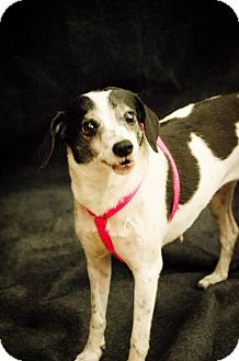 Jack Russell Terrier Mix Dog for adoption in Lakeport, California - B-L Bessie