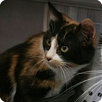 Calico Cat for adoption in Coeburn, Virginia - Whiskers