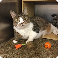 Domestic Shorthair Cat for adoption in Colmar, Pennsylvania - Emmy