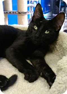 Domestic Shorthair Cat for adoption in Austintown, Ohio - Jack