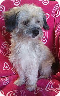 Maltese/Shih Tzu Mix Dog for adoption in Los Angeles, California - Rose
