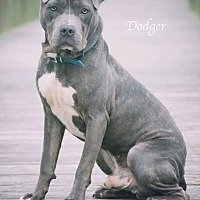 Adopt A Pet :: Dodger - Webster, TX