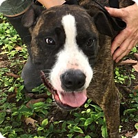 Boxer Dog for adoption in Key Biscayne, Florida - Bubba