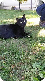 Domestic Mediumhair Cat for adoption in Livonia, Michigan - Dinky