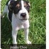 Adopt A Pet :: Jimmy Choo in CT - Manchester, CT