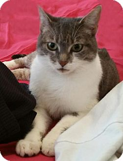 Domestic Shorthair Cat for adoption in Brooklyn, New York - Maddy Sweet Affectionate Gray Fab Tabby