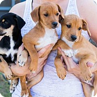 Adopt A Pet :: Fraggle Rock Puppies - Females - San Diego, CA