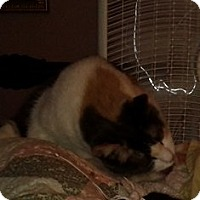 Domestic Shorthair Cat for adoption in wayne, Michigan - URGENT - Licking