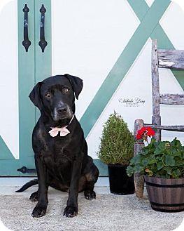 Labrador Retriever Dog for adoption in Charlotte, North Carolina - Libby