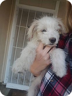 Maltese/Terrier (Unknown Type, Small) Mix Puppy for adoption in Palmdale, California - Frodo