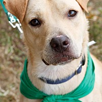 Labrador Retriever Mix Dog for adoption in Washington, D.C. - Cutie