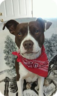 Pointer/American Staffordshire Terrier Mix Dog for adoption in Allentown, Pennsylvania - Lucy HOLIDAY SPECIAL $200