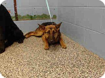 German Shepherd Dog Dog for adoption in San Bernardino, California - URGENT ON 12/6  San Bernardino