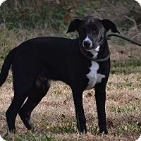 Adopt A Pet :: Pluto - Lebanon, MO