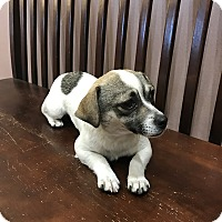 Adopt A Pet :: Shelly bonded with Quinn - Las Vegas, NV