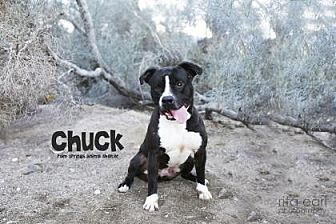 American Staffordshire Terrier Mix Dog for adoption in Palm Springs, California - Chuck/Duke