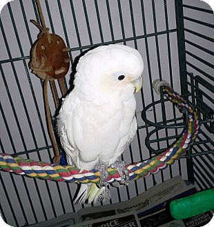 Cockatoo for adoption in Shawnee Mission, Kansas - Angel