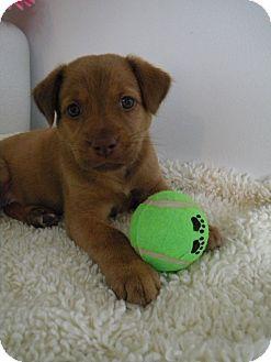 Labrador Retriever/Shepherd (Unknown Type) Mix Puppy for adoption in Monteregie, Quebec - Cricket