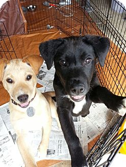 Labrador Retriever Mix Puppy for adoption in South Jersey, New Jersey - Stitch