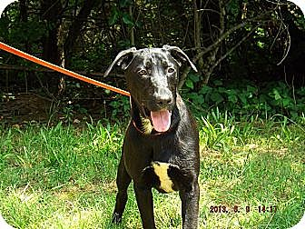 Labrador Retriever Mix Dog for adoption in Oakland, Arkansas - Barker